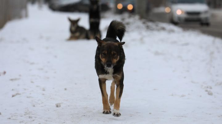 В Красноярске приостановлен отлов бездомных собак