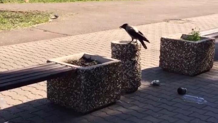 Воронья забава: в Башкирии сняли на видео, как птица развлекается, раскидывая мусор из урны