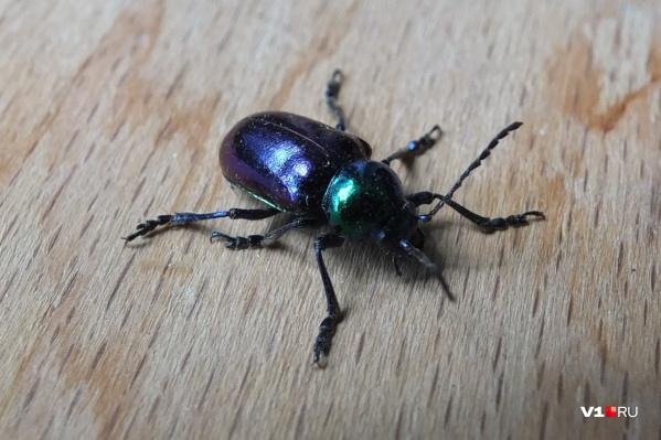 Этот китайский жук сейчас уничтожает деревья Волго-Ахтубинской поймы