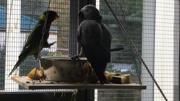 «Он по жизни дерзкий»: в красноярском зоопарке сняли смешные разборки попугаев