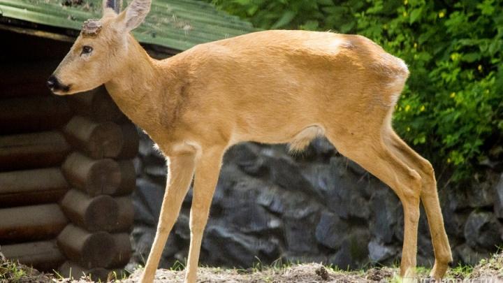 Власти разыграли в лотерею десятки лицензий на отстрел лосей и косуль