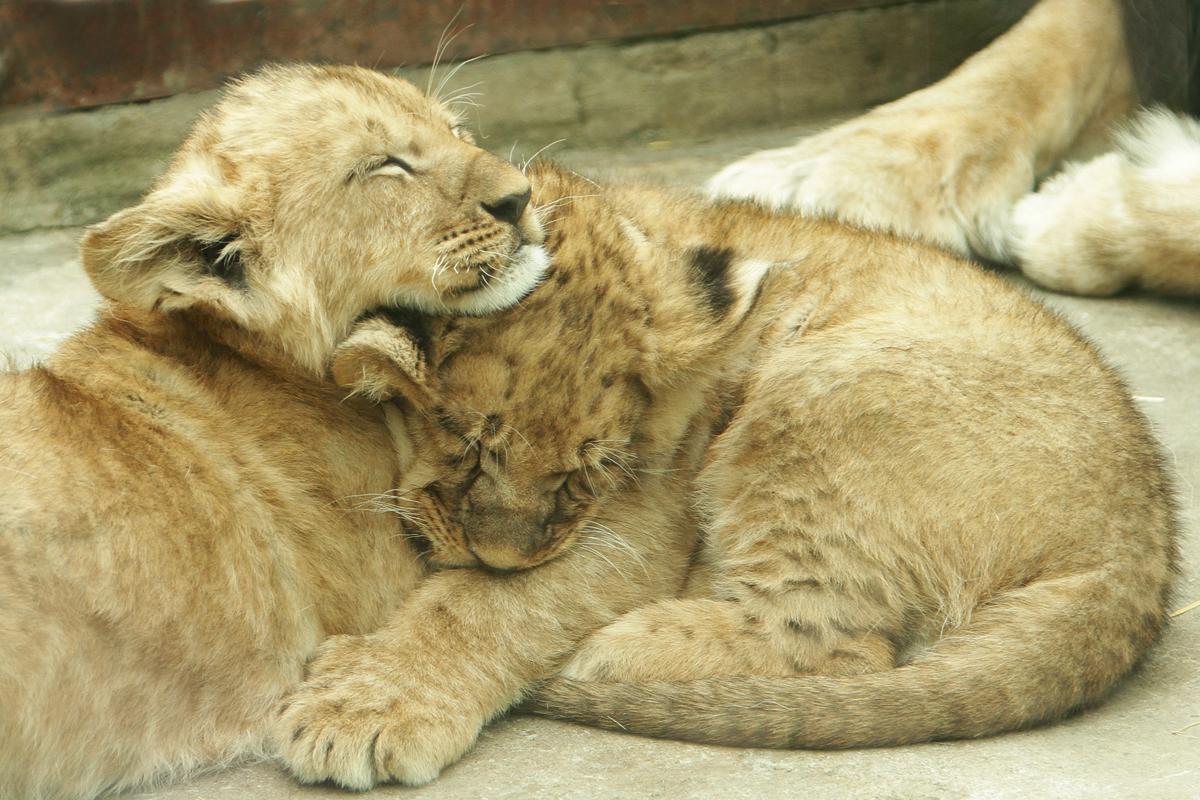 Целый месяц львица скрывала новорожденных львят от посторонних глаз