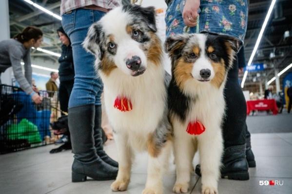 На выставке собак зрители увидят и погладят мимимишных представителей около сотни собачьих пород