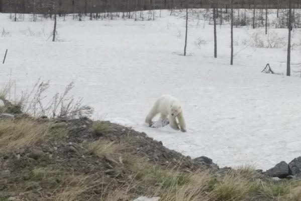 Медведице всего 1,5–2 года