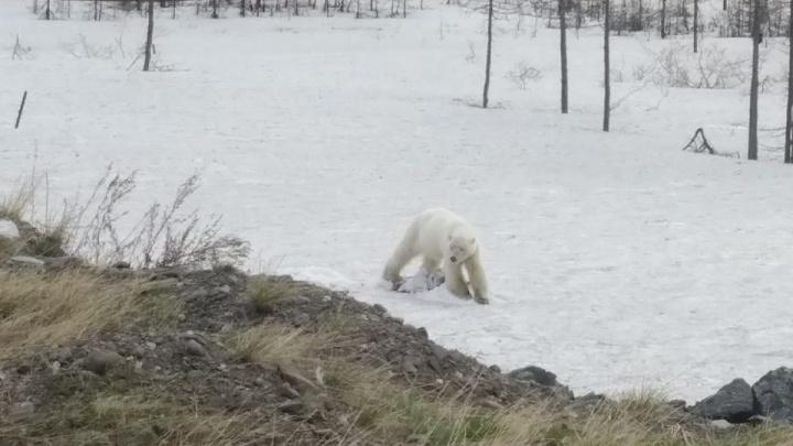 «Объелась вредного»: блуждавшую в Норильске медведицу поймали и готовят к вылету в Красноярск