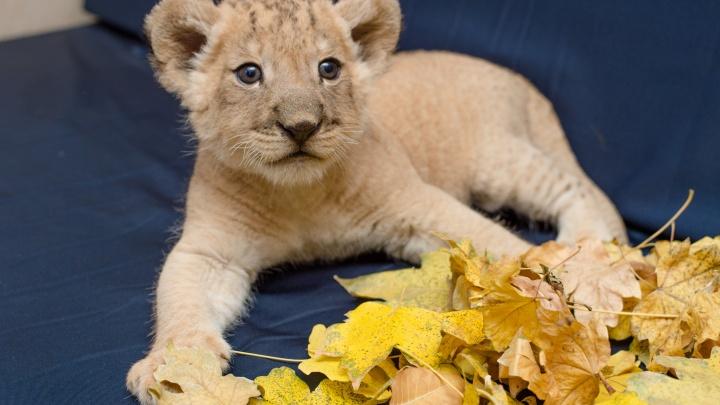 В Ростовском зоопарке на свет появился львенок