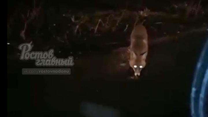 Рыжая гостья: лиса навестила жителей Суворовского
