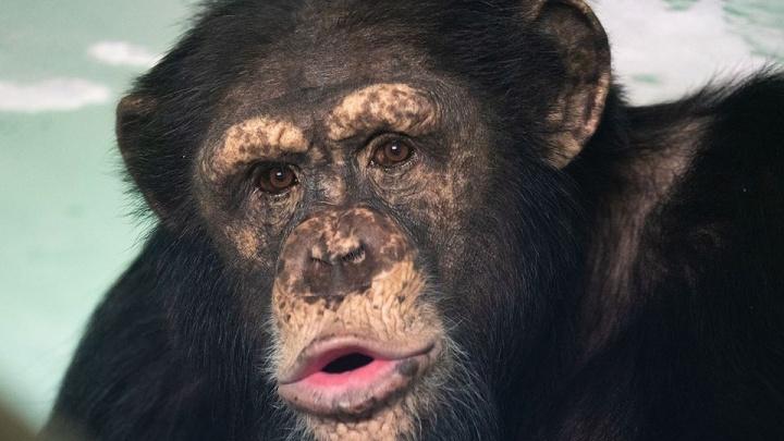 Шимпанзе из зоопарка устроили очень эмоциональную фотосессию