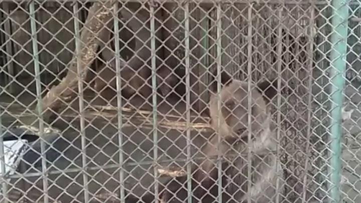«Животных грозят пустить на еду»: на трассе под Самарой нашли семью медведей в клетке