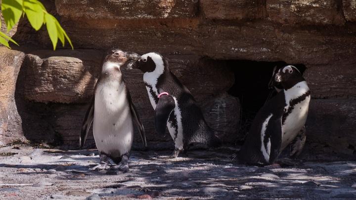 Уникальная красноярская пара пингвинов ждёт третьего птенца
