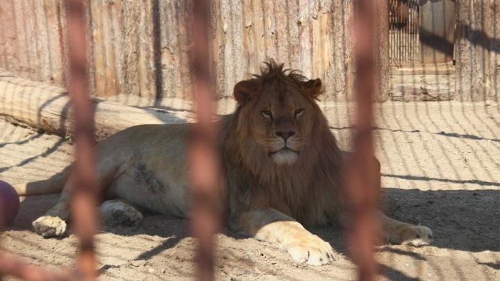 Лев Леро теперь здоров. Ветеринары сделали уникальную операцию молодому льву из пермского зоопарка