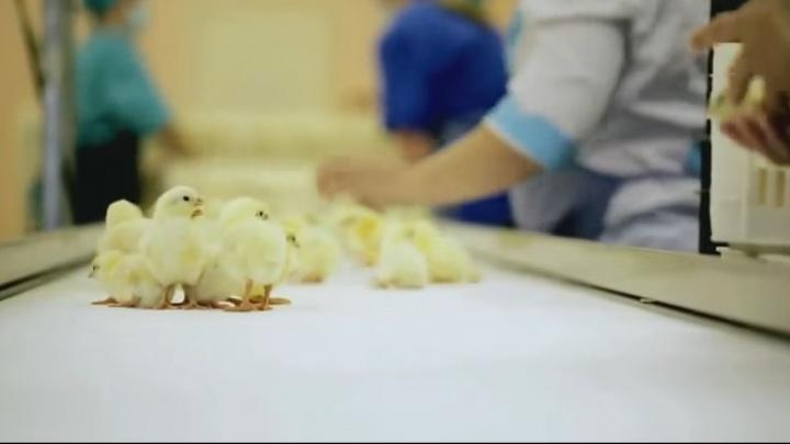 Слияние Свердловской и Первоуральской птицефабрик перенесли на год