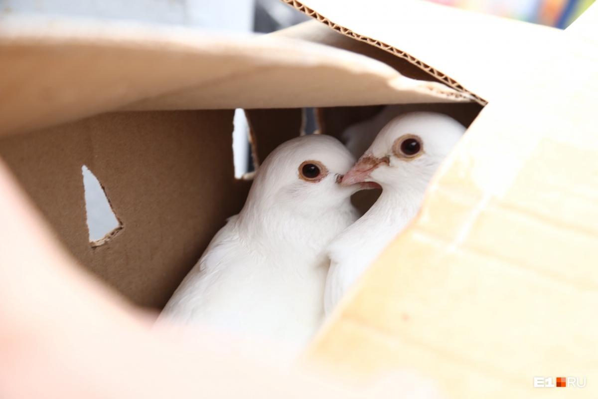 В воздух выпустили белых голубей