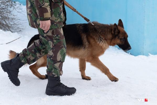 Волгоградские служебные собаки за четыре дня уже «сбились с лап» в поисках бомб в школах и торговых центрах