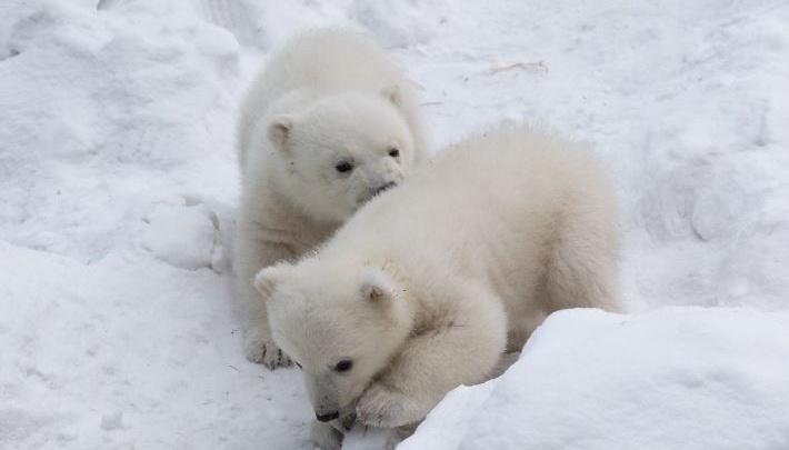 Выбираем вместе: в зоопарке начался финальный этап голосования за имена для белых медвежат
