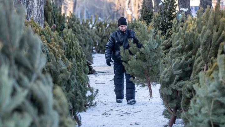 Зацени ёлочку: сколько стоят новогодние деревья в Челябинске