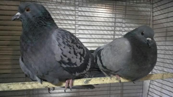 В Архангельске ищут хозяина голубям, которых назвали в честь антимусорного митинга