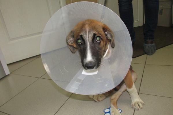 Сбитый фурой пес в ветклинике Новосибирска