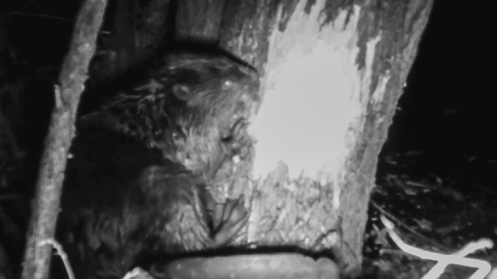 Кто ест по ночам: камеры засняли прожорливого бобра в нацпарке «Башкирия»