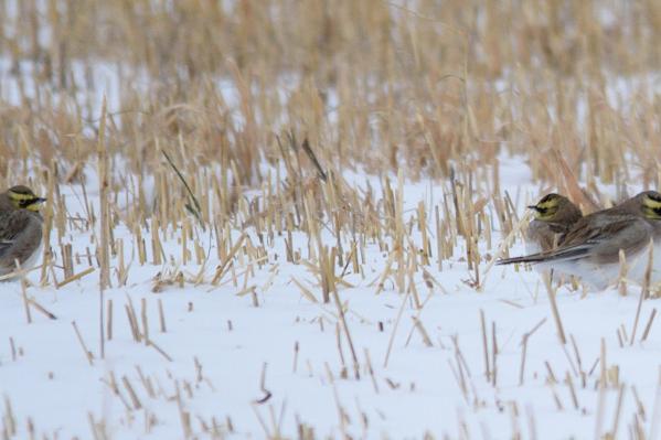 Рогатые жаворонки проводят лето и осень в тундре — у птиц на голове характерные чёрные перья, напоминающие рога
