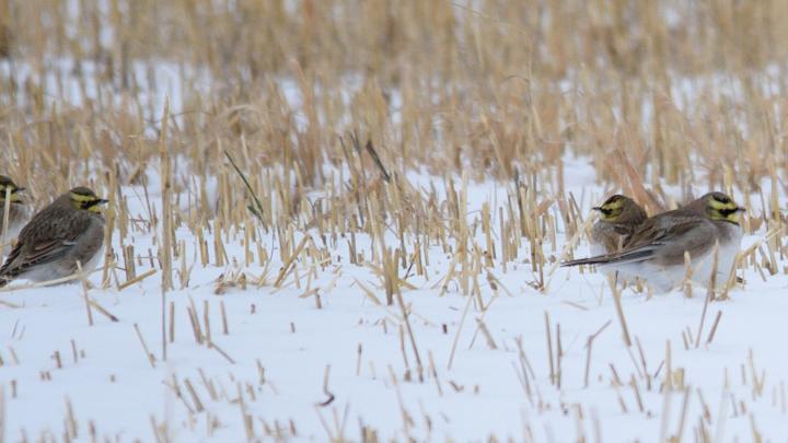 В окрестностях Новосибирска появились морозостойкие рогатые птицы