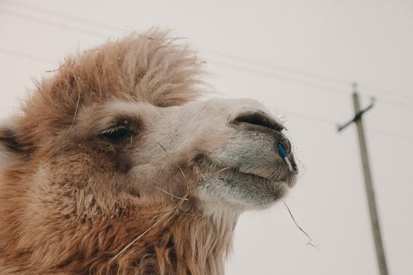 Верблюд Кеша холодов не боится. Животные из Калмыкии выдерживают даже сильные морозы