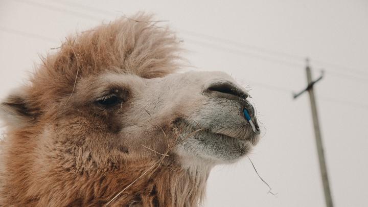 В Тюмени силовики заинтересовались замученным верблюдом Кешей. Хозяева животного всё отрицают