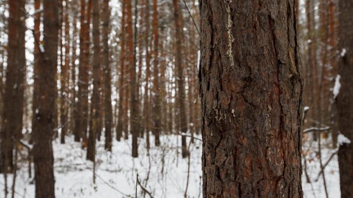 Работника пилорамы, который несколько часов блуждал в лесу под Ишимом, смогли найти по следам