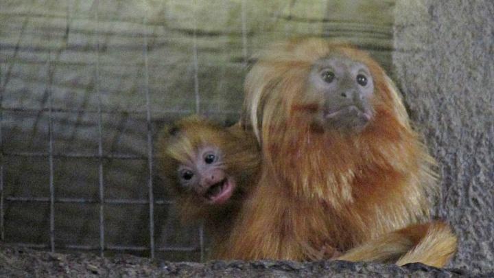 Видео: у милых обезьянок из Новосибирского зоопарка родились детёныши
