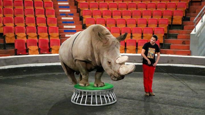 «Мы за гуманную дрессуру»: NN.RU побывал на закрытой репетиции циркового шоу с носорогом