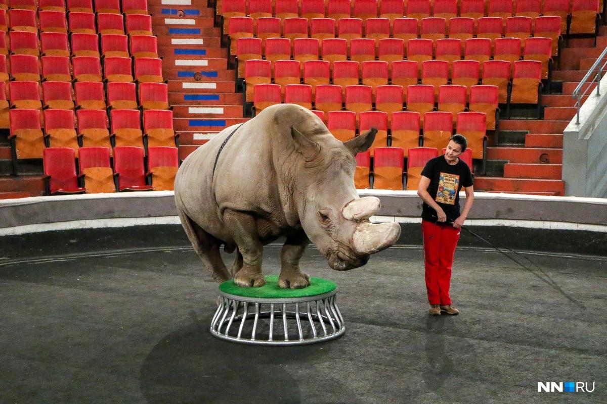 Бонни — очень послушный носорог
