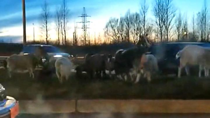 На окружной дороге козы бросаются под колёса машин: видео