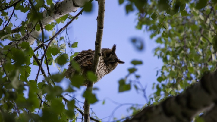 В Новосибирск прилетели сплюшки и сычи