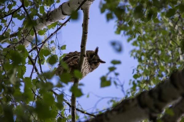 В конце лета в город прилетают ушастые и болотные совы, а также совы сплюшки