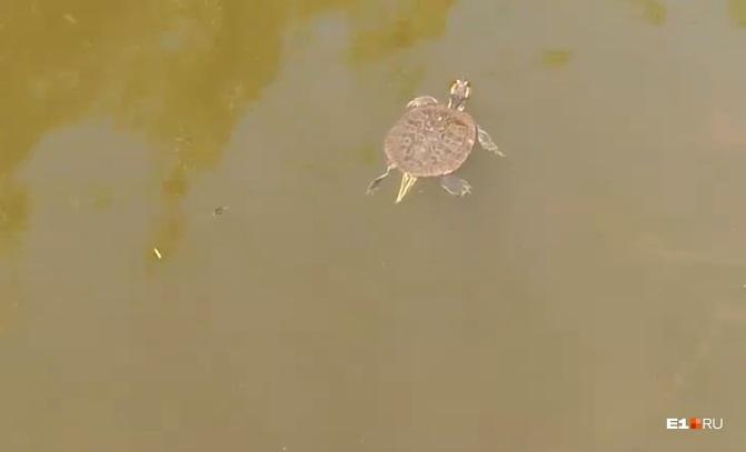 Черепаха сейчас плавает в Исети