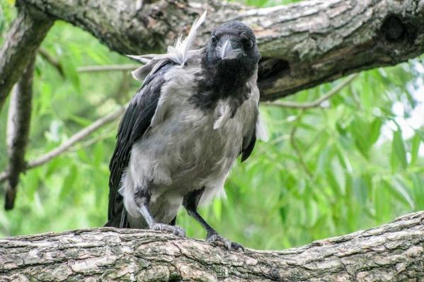 Ворона приняла учителя за угрозу птенцу и атаковала прямо на школьном дворе
