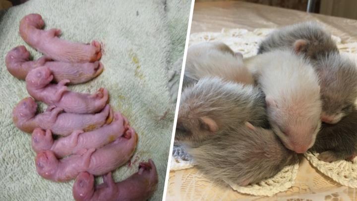 В Красноярске чудом спасли новорождённых хорьков, оставшихся без молока матери