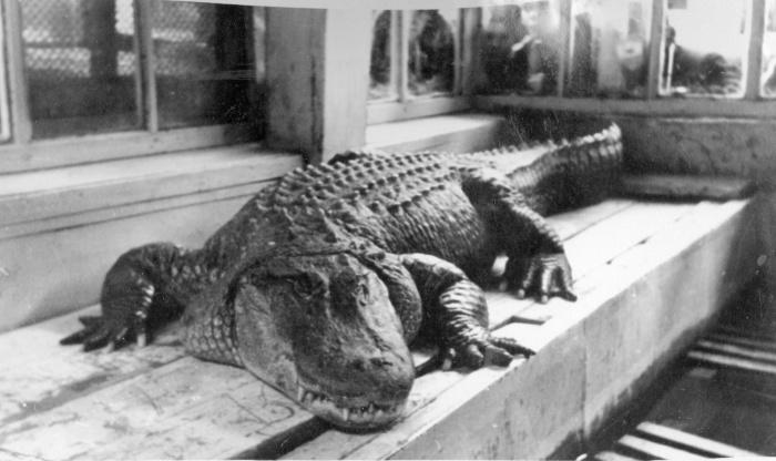 Крокодил Коля