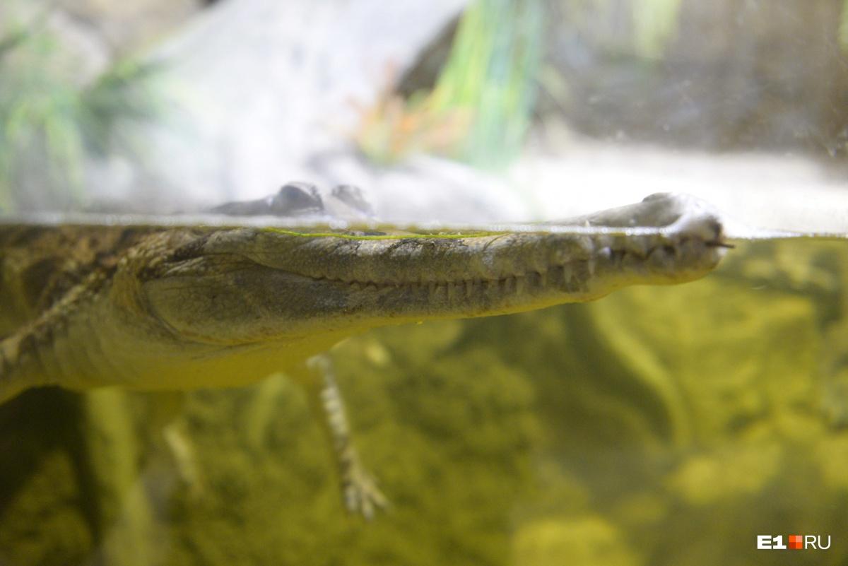 В террариумах живут кайманы, нильские и гавиаловые крокодилы