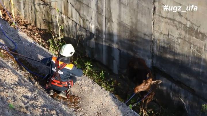 Бетонная ловушка: в Уфе спасатели освободили лосиху, попавшую в западню