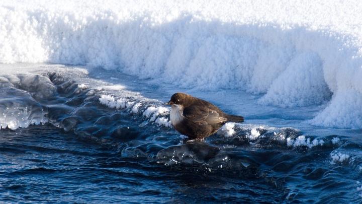 В Новосибирской области заметили птиц, которые ходят по дну рек