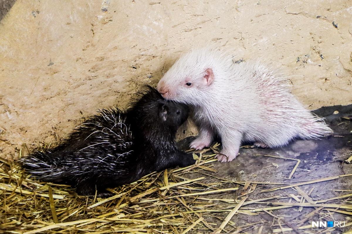 Двойняшки родились всемействах капибар идикобразов внижегородском зоопарке