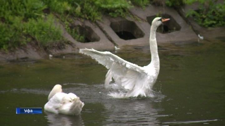 Лебединую пару вернули в уфимский парк