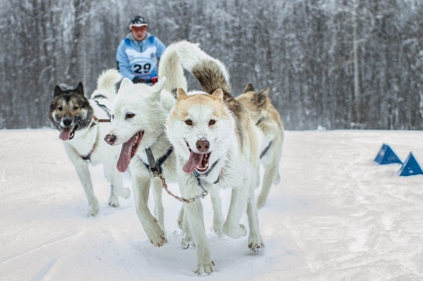 Северным ездовым собакам в радость бегать по заснеженным трассам