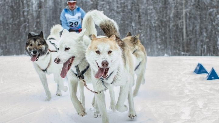 Хаски, самоеды и даже доберманы: на Рождество в Самаре пройдут гонки на собачьих упряжках