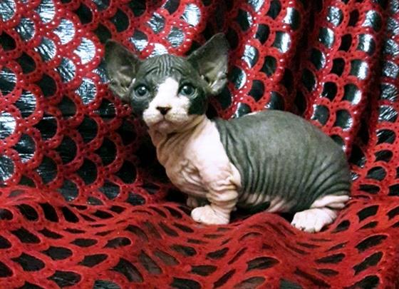 В Новосибирске вырастили миниатюрного кота с эльфийскими ушами