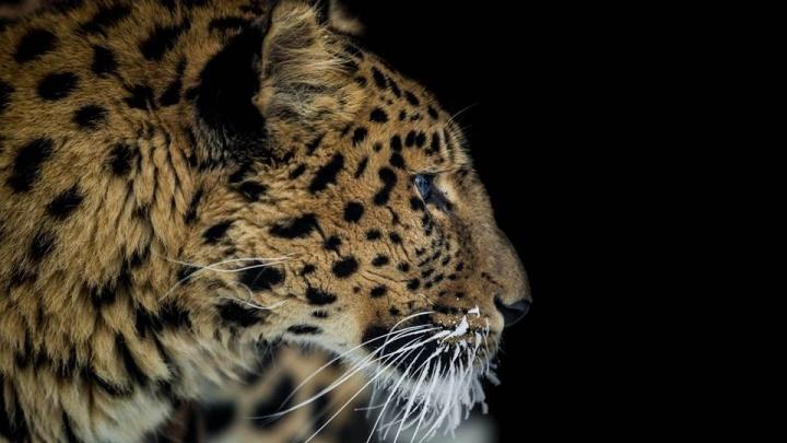 Шикарному леопарду из «Роева ручья» устроили фотосессию