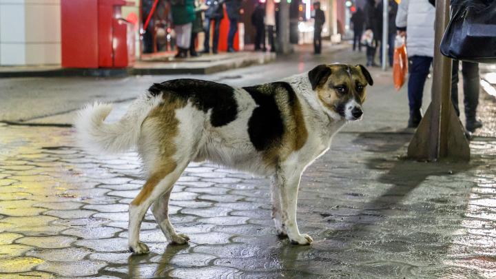 «Собака не должна возвращаться на улицу»: кинолог о стаях бродячих псов и сомнительной пользе приютов