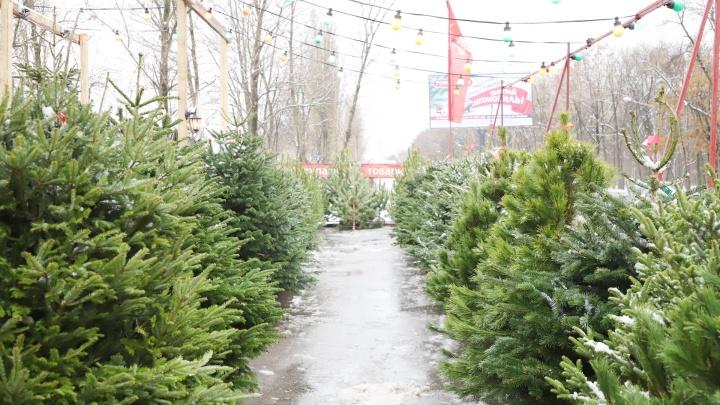И елки, и палки: что предлагают ростовчанам елочные базары