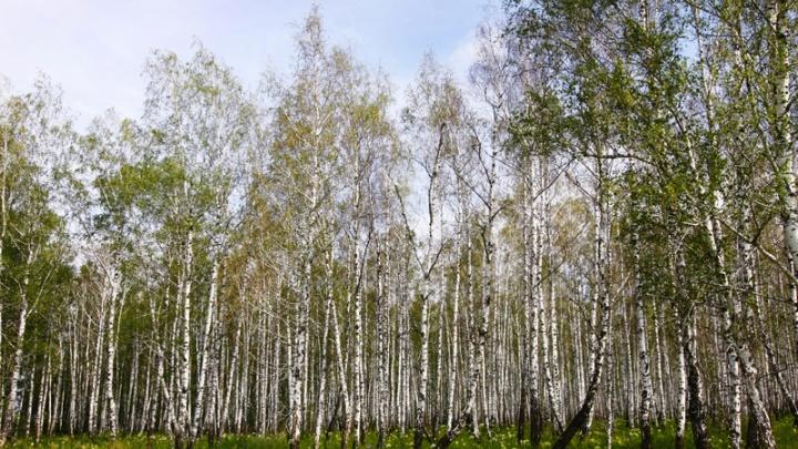 Полицейские в Курганской области раскрыли дело о незаконной вырубке 39 деревьев